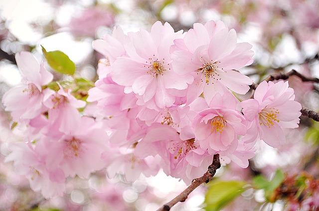 cherry-blossom-741762_640