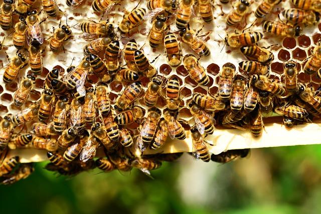 honey-bees-401238_640